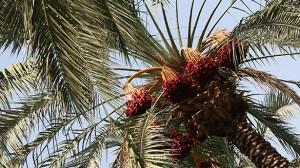 עץ תמר - אכילת תמרים בבוקר